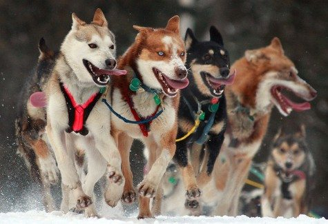 sled dog activities for kids, learn about Iditarod,