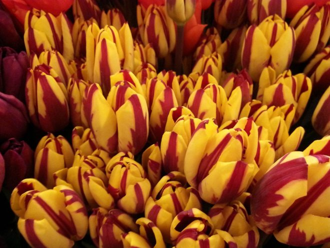 Tulips are my favorite flower. Photo: Jenny Williams