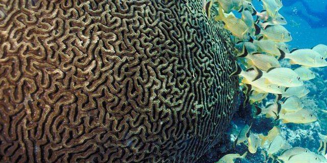 Brain.Coral.jpg