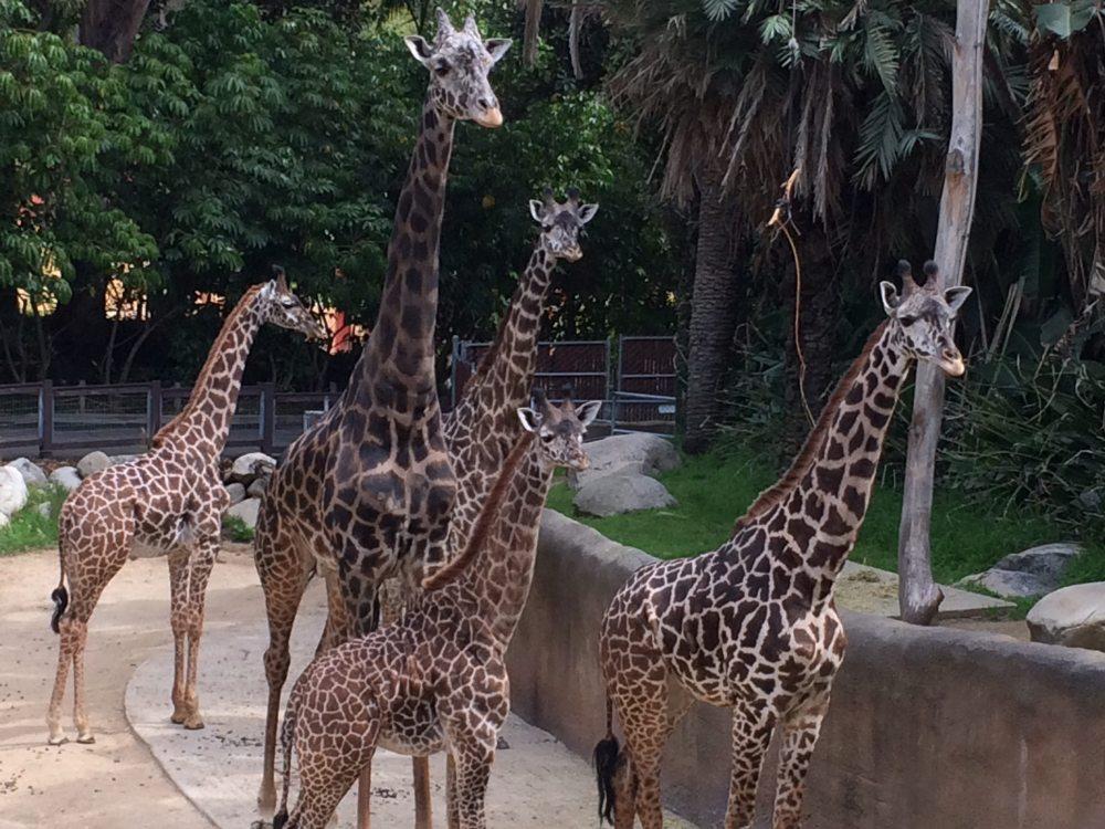 Giraffes (obviously)
