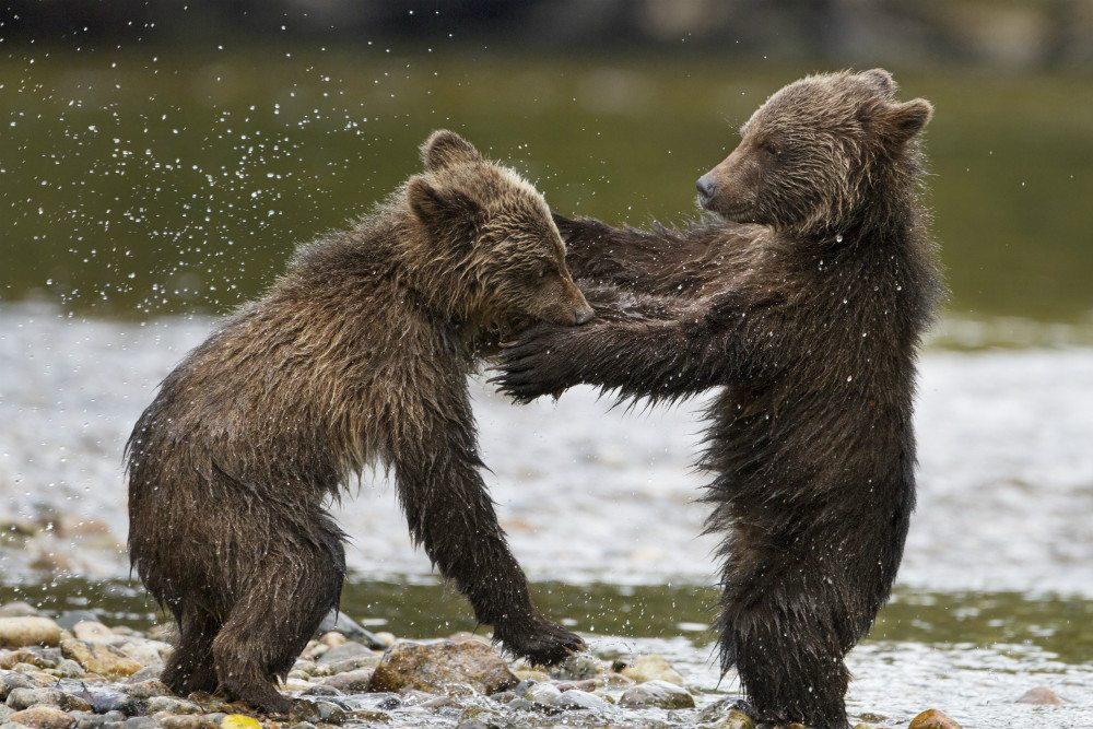 bearscubs
