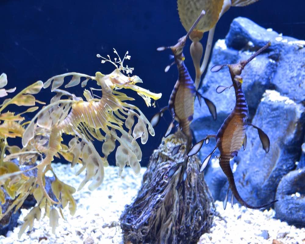 Sea Dragons at Aquarium du Quebec