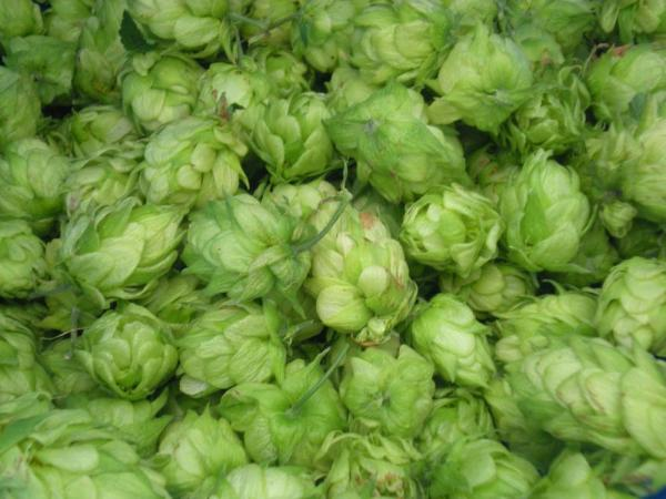 As a hobby, we like growing hops. Home brewing is a perfect hobby that requires knowing the temperature of the room! Image credit: Patricia Vollmer
