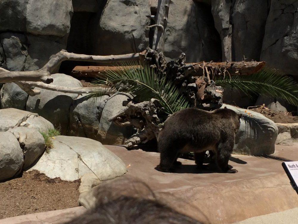 Asian bear